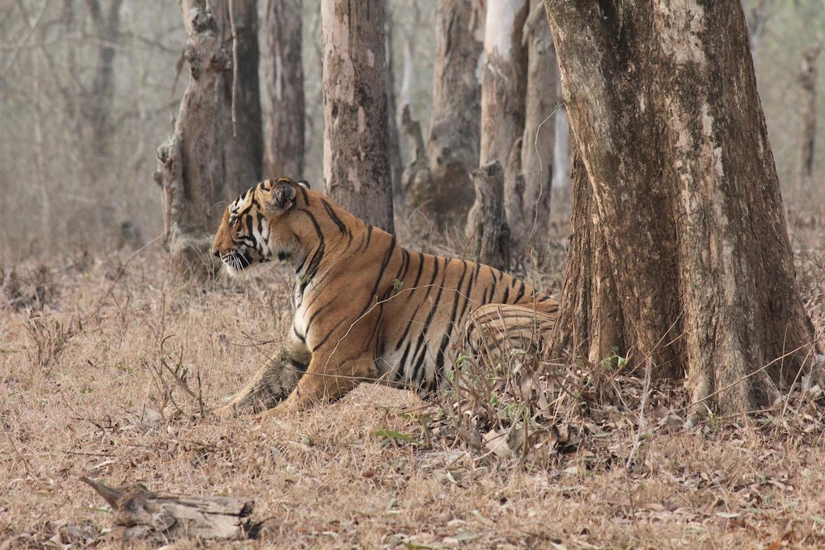 kabini-tiger.jpg